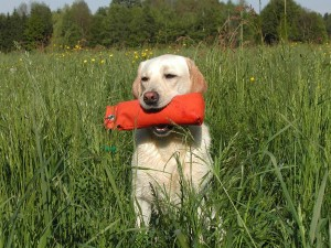 yellow-labrador-retriever-742846_1280